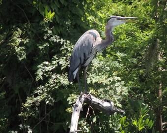 Watchful Blue Heron