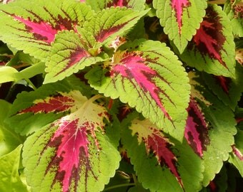 Photo Note Card-Pink Coleus