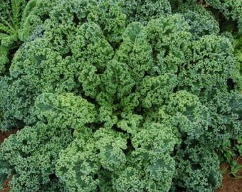 Kale Blue Scotch Curled 50+ seeds - heirloom seeds - vegetable seeds - garden seeds - kale  seeds - scotch curled kale seeds - seeds