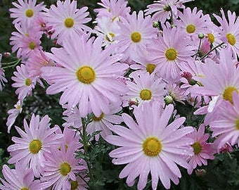 "2 rare ""Daisy Mum"" pink chrysanthemum plants"