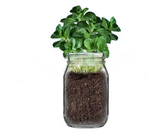 Mint In A Jar // Indoor Garden Kit