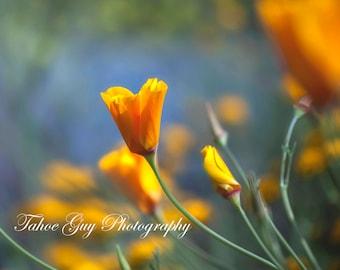 Photograph: California Poppy (2800 x 2200)