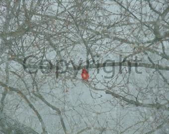 Canvas Snowy Cardnial