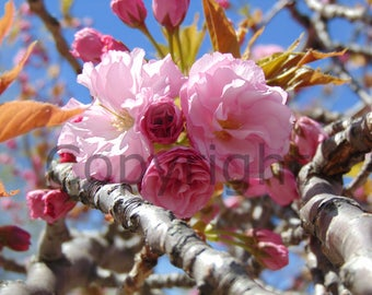 Canvas Lovely Pink Flowers