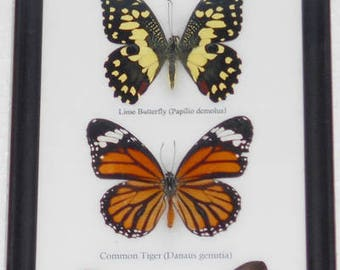 REAL 4 BEAUTIFUL BUTTERFLIES Taxidermy Collection Framed/B04A