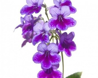 Violet wax melts