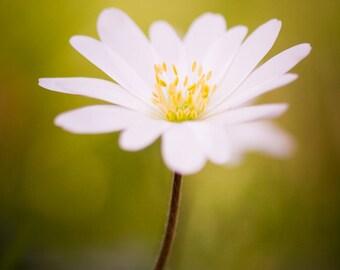 "Photograph of original Art ""Softness"" - photo, flower, macro, white"