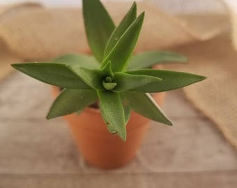 "Crassula Corymbulosa Sharks Tooth, Succulent in 2 1/2"" Clay Pot"