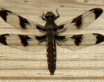 Female White Tailed Dragonfly