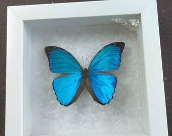 Blue Morpho from Guyana