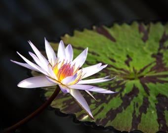 Water Lily Detail Kew Gardens, London