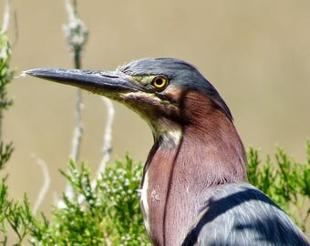 Green heron over salt marsh