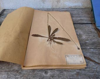 Antique-1887-1889-French-herbarium Hypocoeris radicata