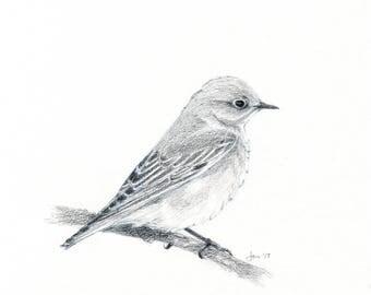 ORIGINAL Female Western Bluebird - Sketch