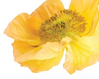 Yellow Poppy Garden Flower  - Vinyl Decal Wall Décor