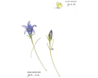 Pine Barrens Gentian and Little Yellow Butterfly, Watercolor Botanical Illustration, Art Print