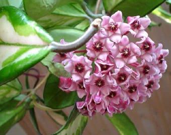 Hoya Carnosa Exotica  ~ Live Succulent Plant  -#4