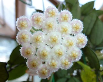 Hoya Lacunosa - Succulent - Live Plant - Rooted