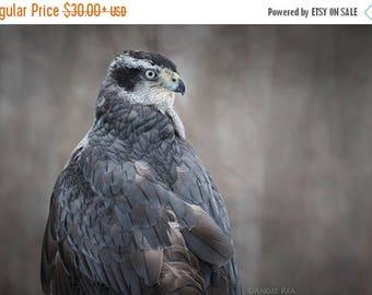 ON SALE Goshawk Bird Photography,  Home Decor, Bird Wall Art, Nature Print, Bird Lover Art, Bird of Prey, Cabin Decor, Northwoods Decor