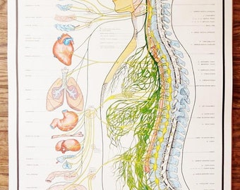 ON SALE Vintage 1957 Autonomic Nervous System Chart / Anatomy Medical Art Poster / School Chart  Human Body Map