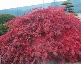 100 Lace Leaf Japanese Maple Seeds, Acer Palmatum Dissectum
