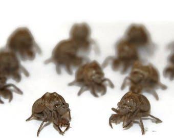 32 Cicada Exoskeletons Bug Shells, science, Halloween, creepy
