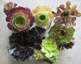 Succulent  Pinwheel Your Choice Live Potted