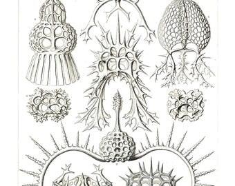 Ernst Haeckel's Vintage Artwork Spyroidea