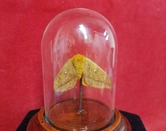Taxidermy Common Moth-Orange body/wings- dot-insect-bug-butterfly-entomology-caterpillar