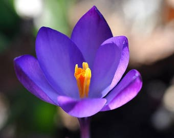 Saffron Crocus seeds,purple saffron crocus seeds,crocus of Kozani seeds,215,gardening,