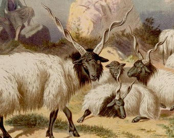 "Antique print.1884.Fauna.Mammals.The RACKA,breed of sheep.Chromolithograph.Antique fauna plate 133 years old print.9.8x6.6"" or 25X17cm."