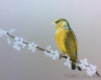 "Watercolour Print, Greenfinch, Original Art, Mounted Ready to Frame, 10"" x 8"""
