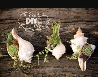 Succulent/Airplant in a Shell ~ DIY Kit Super Easy!! Directions included!