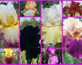 """Tall Bearded Iris """"LOST TAG"""" Iris Sale!! 5 for 35~Ships Now!! All Registered Irises"""