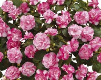 Musica Bicolor Pink Double Impatiens Plant