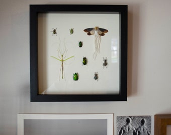 Rare planthopper, Green flying stick bug, and various beetles framed insect display - real mounted insects in a shadow box frame