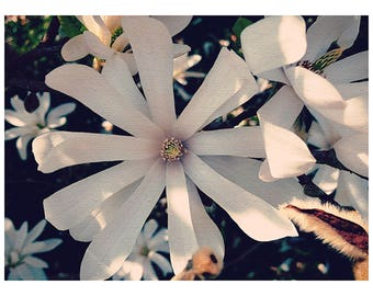 Magnolia in May, Flower Photography, Nature, Floral Print, Home Décor, Wall Art, Garden
