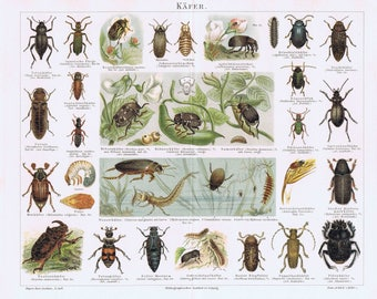 old print beetles and insects, 1895