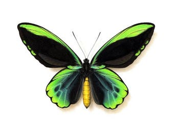 Ornithoptera allotei - A4 size limited edition print