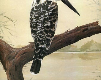 Pied Kingfisher [Ceryle rudis]