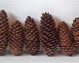 12 Assorted Norway Spruce Pine Cones