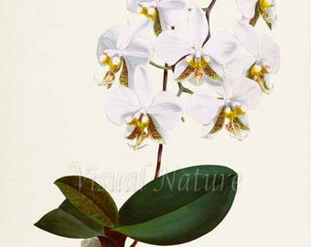 Phalaenopsis Moth Orchid Flower Art Print, Botanical Art Print, Flower Wall Art, Flower Print, Floral Print, Phal, white