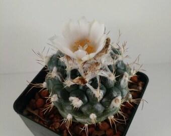 RARE Turbinacarpus lophophoroides cactus