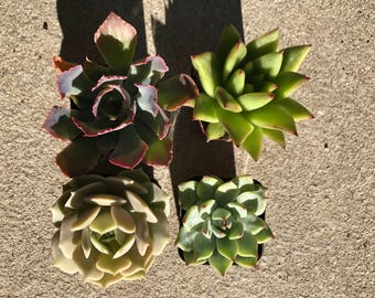 Assorted Succulent Collection of 4