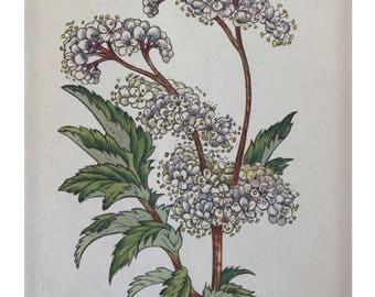 Botanical Print - Flowers of the Meadow - #21 Meadowsweet