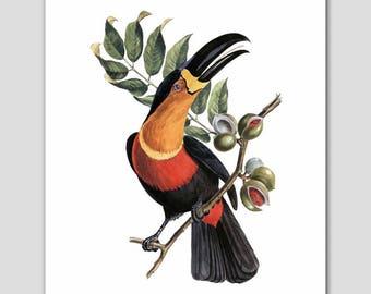 """Bird Print, Toucan Art (Antique Home Wall Decor, Ornithology) -- """"Toucan Ariel"""" 19th Century Artist"""