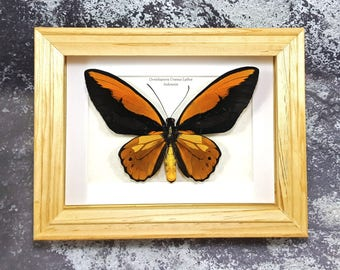 FREE SHIPPING Framed Ornithoptera Croesus Lydius Wallace's Golden Birdwing Butterfly A- #07