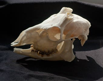 real roe deer skull taxidermy bones