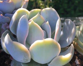 Echeveria Lucita/Succulent plant/succulents/indoor plant/Succulent garden/succulent arrangement/live plants/cactus