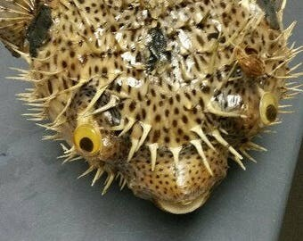 Preserved Porcupine Fish with hanging String  (Large)  (EA)